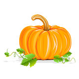 Ripe pumpkin. Realistic illustration isolated on white background royalty free illustration