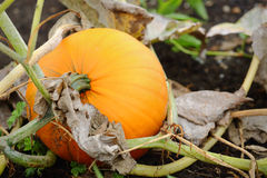 Ripe Pumpkin on the Vine Royalty Free Stock Photo