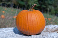 Ripe pumpkin on wall. With pumpkins in field in background Royalty Free Stock Photo