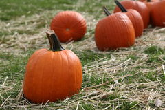 Ripe pumpkins. In field scattered with straw Royalty Free Stock Images