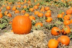 Ripe Pumpkins Stock Image