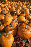 Ripe Pumpkins on Display. Field of ripe pumpkins amidst fallen leaves on a sunny day. Horizontal shot Stock Photo