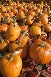 Ripe Pumpkins on Display Stock Photo