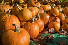 Ripe Pumpkins on Display. Ripe pumpkins sitting on a tarp amidst fallen leaves on a sunny day. Horizontal shot Royalty Free Stock Photo