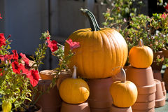 Ripe pumpkins on the farm. Closeup Stock Photo