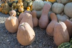 Ripe pumpkins at farmer market in Georgia. Autumn picked pumpkins Royalty Free Stock Photography