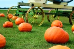 Ripe Pumpkins in a Field. Hallpween Stock Photo