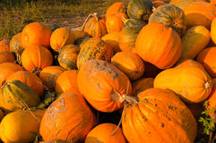 Ripe Pumpkins on the field Royalty Free Stock Photography