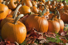 Ripe Pumpkins in a Field. Field of ripe pumpkins amidst fallen leaves on a sunny day. Horizontal shot Royalty Free Stock Photography
