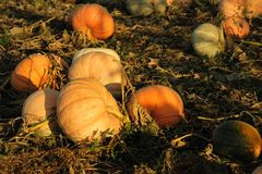 Ripe pumpkins in the field Royalty Free Stock Photo