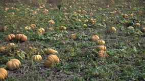 Ripe pumpkins on the field stock video footage