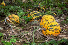 Ripe pumpkins in the field Stock Photos