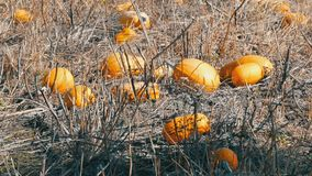 Ripe pumpkins on a field in autumn stock video footage