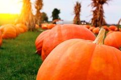 Ripe Pumpkins in a Field. Halloween. Ripe Pumpkins in a Field Stock Photo