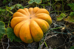 Ripe pumpkins on the field Stock Images