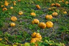 Ripe pumpkins on the field Stock Photo