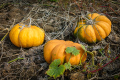 Ripe pumpkins on the field Royalty Free Stock Image