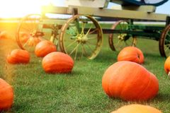 Ripe Pumpkins in a Field. Halloween Stock Photos