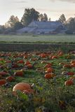 Ripe Pumpkins in Field vertical Royalty Free Stock Images