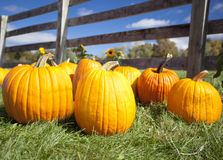 Ripe pumpkins on grass Royalty Free Stock Image