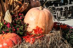 Ripe pumpkins laid in the cart on hay. Autumn harvest Stock Photos