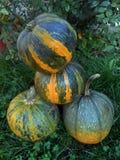 Ripe pumpkins cucurbita. Ripe pumpkins  on neutral background Royalty Free Stock Image