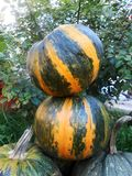 Ripe pumpkins cucurbita. Ripe pumpkins  on neutral background Stock Photo