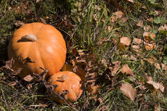 Ripe pumpkins small and large Stock Photo
