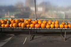 Ripe pumpkins and squashes Stock Photo