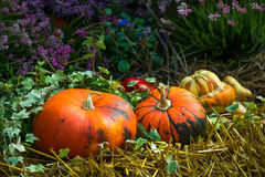 Ripe Pumpkins in Straw with Flowers. On Market Stock Photography