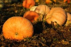 Ripe pumpkins in the vegetable garden Royalty Free Stock Photos