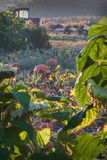 Ripe Pumpkins on the Vine Stock Photo