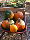 Ripe pumpkins on wheelbarrow Royalty Free Stock Image