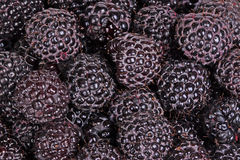 Ripe, purple black raspberries fill the frame royalty free stock photography