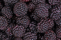 Ripe, purple black raspberries fill the frame Stock Photography