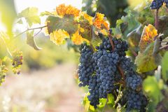 Ripe purple grapes with leaves in natural condition, vineyard in Puglia, is in southern Italy, particularly Salento stock images