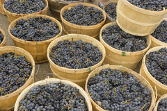 Ripe purple grapes stored in round wooden baskets. Ripe dark purple grapes are stored in circular wooden baskets Royalty Free Stock Photography