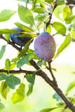 Ripe purple plum Royalty Free Stock Photo