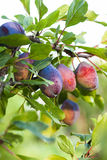 Ripe purple plum Royalty Free Stock Photography