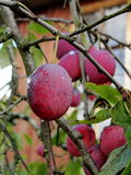 Ripe purple plum fruits among green leaves on a tree branch. Stock Photo