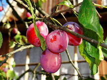 Ripe purple plum fruits among green leaves on a tree branch. Stock Image