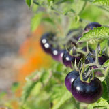 Ripe purple tomatoes on the vine. Ripe purple tomatoes fresh on the vine Stock Images