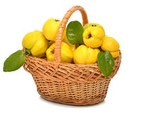 Ripe quince in the basket Royalty Free Stock Images