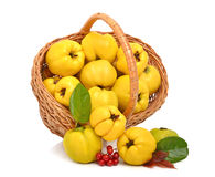 Ripe quince in the basket Stock Photo