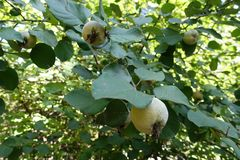 Almost ripe quince fruits. In the leafage Royalty Free Stock Images