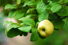 Ripe quince on leafy tree Stock Image