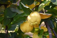 Ripe quince between the leaves on the tree, harvest time for fru royalty free stock images