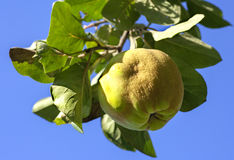 Ripe Quince on a Tree. Ripened quince fruit hanging from a tree branch against blue sky Royalty Free Stock Image