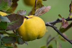Ripe quince on a twig, close up. Ripe, healthy organic quince on branch with leaves in autumn colors, close up view Stock Images