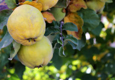 Ripe quince. Ripe yellow quinces hanging on a branch in autumn royalty free stock image